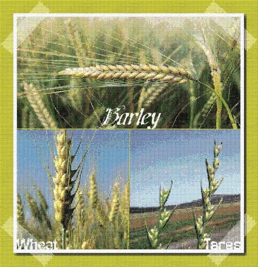 Barley, Wheat and Tares
